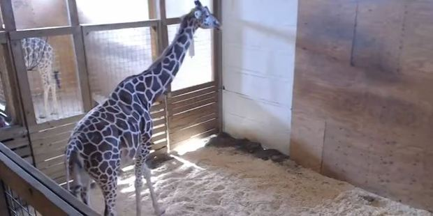 Name April the giraffe's calf