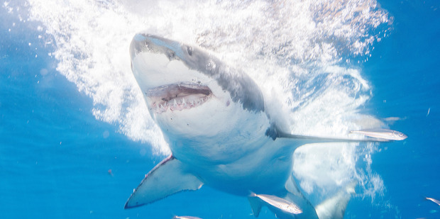 Twelve New Zealanders have been killed by sharks in our waters since records began. Photo / Getty