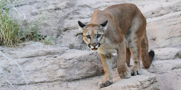 A mountain lion was the likely culprit. Photo / 123rf