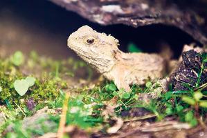 Our own living dinosaur - the tuatara.