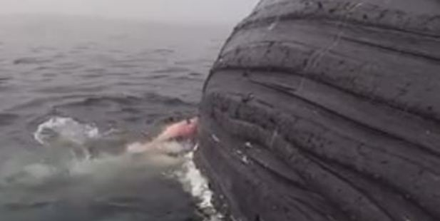 Great White Shark Feasts on Whale Carcass