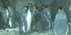 Watch: Watch NZH Focus:  Kelly Tarlton's same sex penguin couple