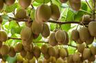 Zespri Gold3 fruit kiwifruit hanging on the vine. Photo / Supplied