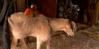 Watch: Watch: Goat and rooster - best mates
