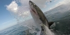 Watch: Watch: Great White Shark jumps out of the ocean