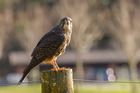 A New Zealand falcon or kārearea has been found shot dead in Nikau Valley, Paraparaumu. The birds are fully protected by law, with penalties of up to 2 years in prison and a $100,000 fine for harming one. Photo / DoC