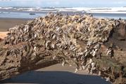 Gooseneck barnacles on driftwood on beaches around Gisborne. Photo / Gisborne Herald