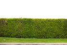 Does an 80-year-old hedge deserve to be destroyed? (Note actual hedge not pictured.) Photo/Getty
