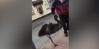 Watch: Watch: Man walks his emu down the street