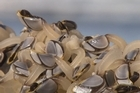 Gooseneck barnacles have been reported to have turned up at Makorori Beach and Pouawa. Source: Gisborne Herald