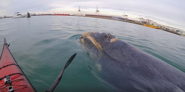 Loading Getting up this close to a humpback whale in Tauranga Harbour was something 'pretty special' for kayaker Nathan Pettigrew, who has release a new video of encounters like this. Photo/supplied