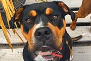 Wellington residents Kathryn and Dan Cretney adopted female rottweiler Gem, 15 months, from Furever Homes.