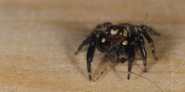 A male jumping spider, the Kenyan Evarcha culicivora, eating a female Anopheles mosquito. Photo / Robert Jackson, University of Canterbury