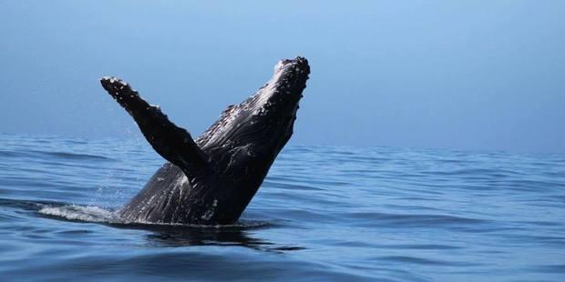 A humpback whale puts on a spectacular display off the Kaikoura Coast. Photo / Tehlia Richardson
