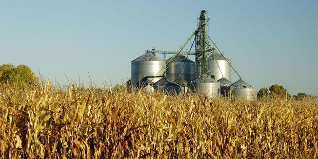 One of many fields of maize in Dakota. Photo / 123RF