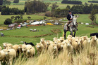 Dairy farmer Derek Brown musters sheep on his horse, Wong, during the South Island sheep dog trial championships on Monday. Photo / Stephen Jaquiery.