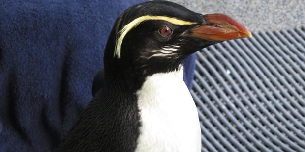 Gari, the Fiordland crested penguin, will be heading to Sydney to live at Taronga Zoo. Photo / Wellington Zoo