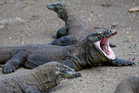 An Indonesian national park official says a Komodo dragon has bitten an overly inquisitive tourist. Photo / AP