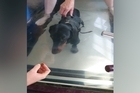 Frank the sausage dog doing hydrotherapy for his spine which was fractured in a car accident.