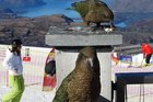 Kea snack on some nibbles at the Remarkables ski resort. Photo/Mark Price