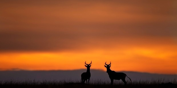 Hartebeest at dusk. Photo / Getty Images