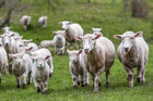 Dogs have been mauling sheep on farms in the Patutahi and Waituhi settlements near Gisborne. Photo / 123RF