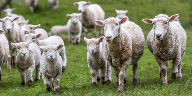 Dogs have been mauling sheep on farms in the Patutahi and Waituhi settlements near Gisborne. Photo / 123RF