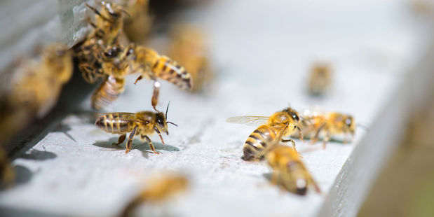 Husband Darren holds each of the bees to her back with a tweezer until they sting her. Photo / 123RF