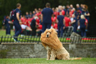 Lola the dog wears a mane as the players line up during a British and Irish Lions photo call. Photo / Getty
