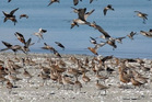 The Motueka Sandspit is a landing point for godwits is a challenge for the Whanganui - Motueka ferry proposal. Photo/ Department of Conservation.