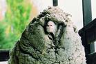 Hermit sheep Shrek with his impressive fleece in 2010. Photo / Supplied