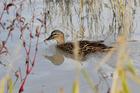 Ducks can take it easy when Jamie Mackay is in the maimai. Photo / Warren Buckland