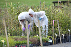 MPI staff examine plants at the scene of the original outbreak. Photo / Peter de Graaf