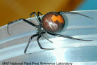 The Australian redback spider, characterised by the red strip across its swollen black abdomen, is found in several areas in Central Otago and New Plymouth. Photo / File