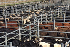 Numbers are easing but the livestock market is still red hot for both cattle and sheep. Photo / Supplied