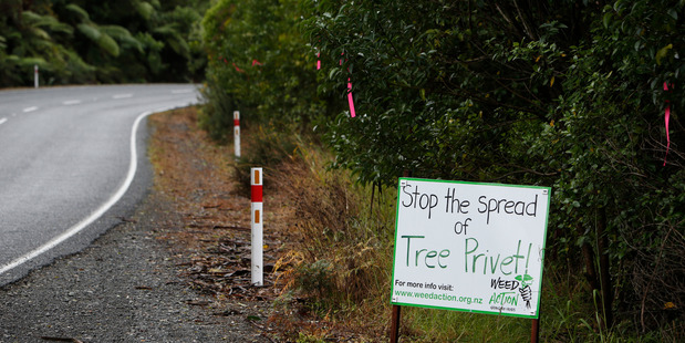 Tree privet is getting its marching orders at Whangarei Heads.  Photo/Michael Cunningham