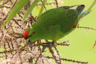 Kakariki, the red-crowned parakeet, could be back in the Bay of Islands this winter. Photo / Bernard Spragg