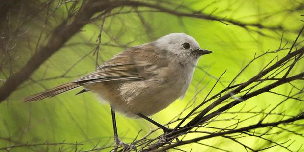 The song of the gregarious popokatea, or whitehead, has earned it the title of bush canary. Photo/Tony Whitehead