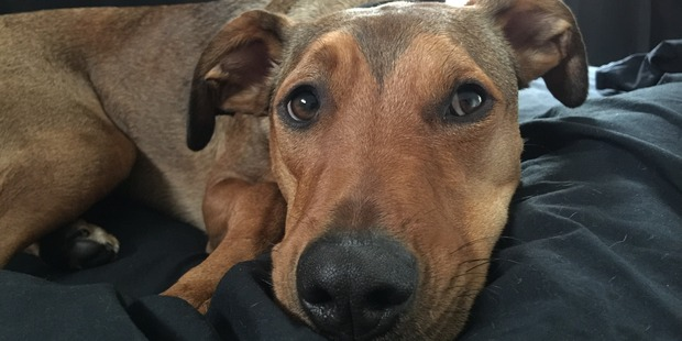 Loading The owners of Wilson, a 17-month-old huntaway cross fatally mauled by other dogs at doggy daycare are devastated by his death. Photo / Supplied