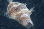 This is a good time of year for john dory. The yellowtail live bait can be seen inside its mouth. Photo / Geoff Thomas