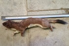 The stoat was 45cm long, and weighed 450g. The average stoat weighs 324g. Photo / Greater Wellington Regional Council.