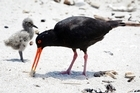 The oystercatcher family of four nesting on Mount Maunganui Main Beach are happy and healthy - though are still at risk from dogs, humans and hot weather.