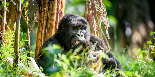 Rwanda is one of the few places where you can go gorilla trekking. Photo / 123RF
