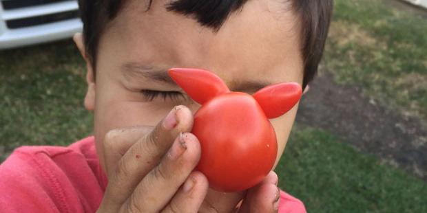 Otto Madsen, 4, was delighted to discover the tomato. Photo/Lars Madsen