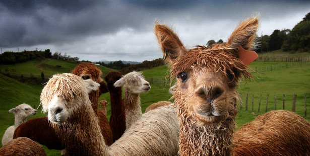 Unlike llamas, which are larger than alpacas and bred to be domesticated 'beasts of burden', alpacas are bred purely for their fleeces. Photo / John Borren