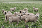 Woman knocked over by sheep, flown to hospital