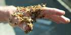 LOOK OUT BELOW: Airborne bees are fouling windows and washing at suburban Whanganui homes.