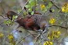 There has been a resurgence of kaka at Zealandia ecosanctuary in Wellington. Photo / File