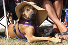 Bradley Woon's dog Mila kept her cool with a sunhat while watching him play softball on Saturday. She'll need it this week with temperatures forecast to 30 C. Photo / Duncan Brown