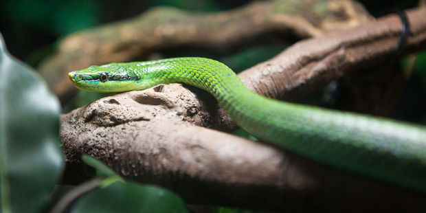 A second woman has been bitten by a green snake at Australia Zoo. Photo / 123rf
